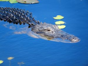 Alligator i Everglades